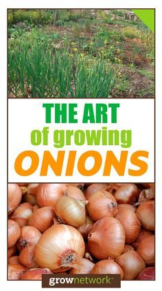 Everything you need to know about growing onions!
