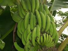 "les bananes plantains"""