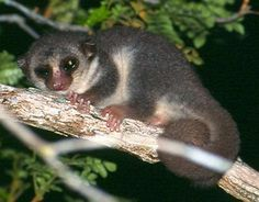 genes determine mate choice at least for fat tailed dwarf lemurs