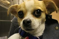Purcy from @North Shore Animal League America is looking for a home. Could it be with you?