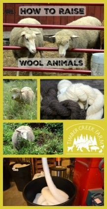 raise wool animals -I raise wool animals for yarn. The beginning of any wool yarn starts with fiber harvested from a wool producing animal. This is why we got into the world of keeping fiber goats and sheep. Beginning with Pygora Goats, we started to raise wool animals. I don't spin on a spinning wheel and frankly, I have no desire right now to learn how to do that. Read more on the blog