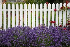 This White Fence is pretty in purple!  www.whitefence.com