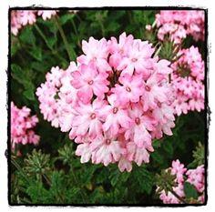 Silver Anne Pink Verbena  ~ See the Plant Information Index for more details at kieferlandscaping.com