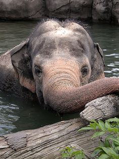 magicalnaturetour: Asian Elephant by carinemily on Flickr.