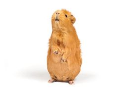 A young reader provides guideance on the finer points of guinea pig personality identification and what you can do with the little varmints once you know. Originally published as