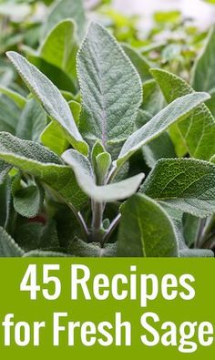Got an overflow of sage in your garden and not sure what to do with it? Here are 45 inspired sage recipes, ideas, and tips.