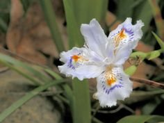Iris japonica blooms in the Abroms Rhododendron Species Gardens at The Gardens in March.