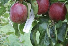 Reads Nursery - Apple Worcester Pearmain, £18.25 (http://www.readsnursery.co.uk/apple-worcester-pearmain/)