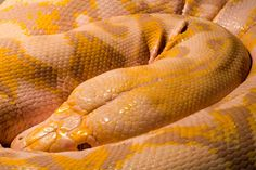 Oscar, the lavender albino Burmese python who lives at Twin Cities Reptile. His pattern is an amazing purplish-gray with daffodil yellow. He's BEAUTIFUL in person. And eat rabbits.