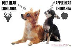 Deer Head Chihuahua versus Apple Head Chihuahua - IrresistiblePets.com