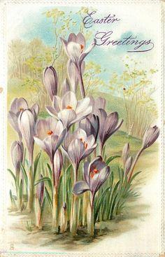 """Purple crocus, """"Easter Greetings"""" ~ 1911"""