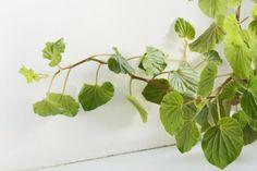 Enkelinsiipibegonia (Begonia x corallina Hybr.)