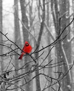 cardinals are the most striking snow birds