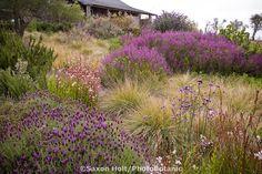 California meadow garden with lavender, verbena, guara, grasses