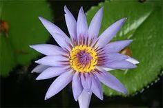 Résultats de recherche d'images pour «fleurs de guadeloupe»