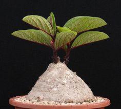 Adenia goetzei - Leaves with red veins