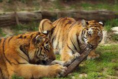 Playing Tigers by Ferenc Vazsonyl