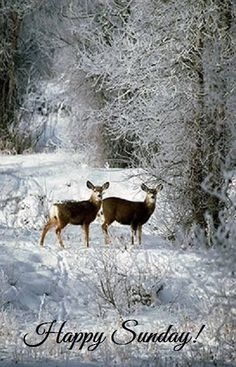 Deer in the snowy woods.....
