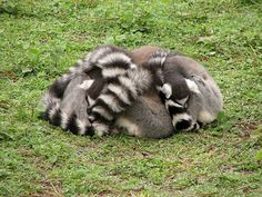 'A Group' of Lemurs is just known as a Group, but huddled together they are called 'A Ball of Lemurs' by Keith and Molly's Great Adventure: Ring-tailed Lemurs.