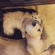Love u#cats #kitten #lovecats #ragdoll #chinchilla #Persian #kitten #meow #lovecat