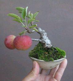 Apple tree bonsai
