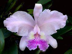 Cattleya lueddemaniana - Flickr - Photo Sharing!