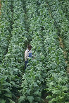 Nicotiana tabacum Willie Greeninge checks on his tobacco plants at his farm in Chatham, VA.