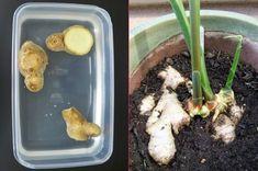 Birkaç basit adımla evde zencefil yetiştirme yöntemini öğrenince hemen denemek isteyecek, artık evde kendi zencefilinizi kendiniz yetiştireceksiniz.