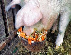 Hippopotamus, Body Types, Pigs, Food Items