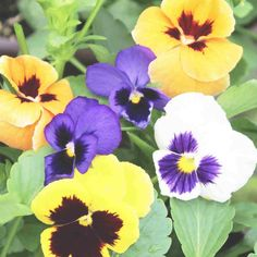 Pansy Swiss Giants Mixed Colors Seed Flower Background Wallpaper, Flower Backgrounds, Exotic Flowers, Purple Flowers, Rose Flowers, Ornamental Cabbage, Yellow Plants, Peonies Garden, Flowers Garden
