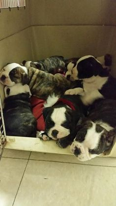 A Waukegan man who police say was illegally selling Old English Bulldog puppies on the Internet was arrested just before Christmas.