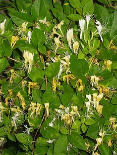 6 Healing Plants in Your Backyard. A tea from Honeysuckle flowers has been used in Eastern Asia for enteritis, fever, flu – and also as an external wash for arthritic joints, sores and scabies. Herbal Plants, Medicinal Plants, Healing Herbs, Natural Healing, Honeysuckle Plant, Edible Wild Plants, Plant Information, Wild Edibles, Herbal Medicine