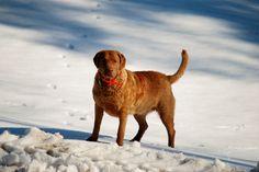 Ellis Farms CBR - Ember 1/14 Chesapeake Bay, Cbr, Farms, Labrador Retriever, Dogs, Animals, Labrador Retrievers, Homesteads, Animales