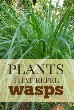 The Best Wasp Deterrent Plants Do you know the best wasp repellent plants are to include in landscaping that look nice and also keep those nasty wasps away? Here are some tips for natural pest control using plants and herbs. Natural Wasp Repellent, Insect Repellent, Fly Repellant, Wasp Deterrent, Organic Gardening, Gardening Tips, Flower Gardening, Kitchen Gardening, Gardening Courses