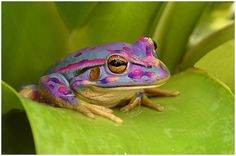 Go figure: a purple and pink frog!!   dj