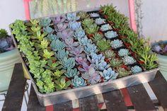 """2"""" Wedding Succulents bulk wholesale succulent prices at the succulent source - 2"""
