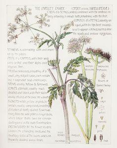 1910 Botanical Print by H. Isabel Adams: Parsley Family, White Bearded Parsley & Water Dropwort
