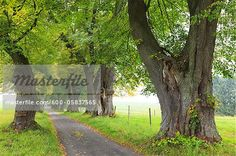 Lime Tree Allee, Marktoberdorf, Ostallgau, Bavaria, Germany  – Bild © F. Lukasseck / Masterfile.com: Kreative Stock-Fotografie, Vektoren und Illustrationen für Internet-, Print- und Mobile-Nutzung