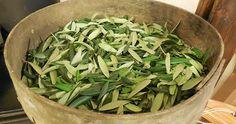 infuso foglie di ulivo