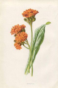 Image result for draw orange hawkweed