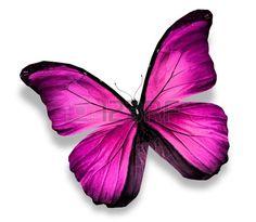 Morpho mariposa rosa, aislados en blanco