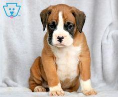 Midnight | Boxer Puppy For Sale | Keystone Puppies Boxer Puppies For Sale, Design Development, Pitbulls, Cute, Animales, Pit Bulls, Kawaii, Pitbull, Pit Bull Terriers