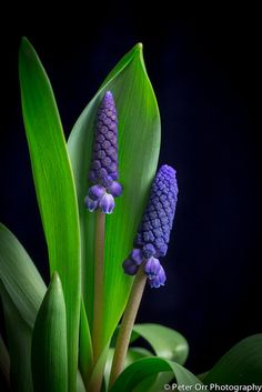Muscari Beautiful Blossoms WORLD BICYCLE DAY - 3 JUNE PHOTO GALLERY  | PBS.TWIMG.COM  #EDUCRATSWEB 2020-06-03 pbs.twimg.com https://pbs.twimg.com/media/EZaBtaSU4AAJMcR?format=jpg&name=small