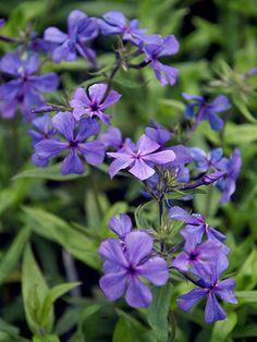 Phlox Louisiana Blue