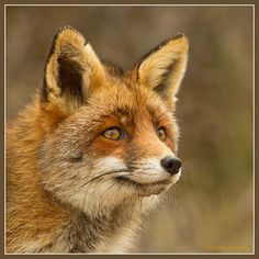 The fox's richness of colors and beauty of God's design