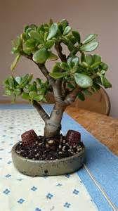 Ecosia - the search engine that plants trees Bonsai Garden, Bonsai Trees, Trees To Plant, Jade Bonsai, Crassula Ovata, Jade Plants, Cactus, Landscapes, Yard