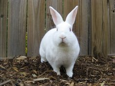 New Zealand White rabbit. Great meat rabbits, have a nice meat to bone ratio! Meat Rabbits, Raising Rabbits, Beautiful Creatures, Animals Beautiful, Cute Animals, New Zealand Rabbits, Rabbit Breeds, White Rabbits, Cute Bunny