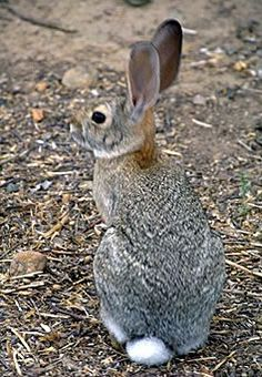Eastern cottontail.