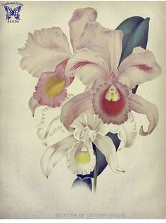 9a6f73887abb0 Download Free Cattleya Trianae Tattoo 1000 images about botânica on  pinterest the ... to