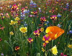 I've always wanted a wildflower garden like this. I've never had much luck sowing wildflower seeds, but I keep doing it anyway. Love Flowers, Wild Flowers, Beautiful Flowers, Wedding Flowers, Spring Flowers, Meadow Flowers, Rainbow Flowers, Flowers Nature, Spring Colors